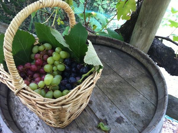 Growing Honest Food basket of grapes