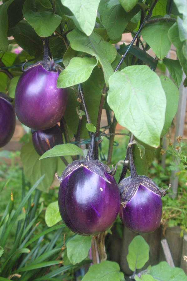 Rose Creek Estate and Growing Honest Food the aubergine