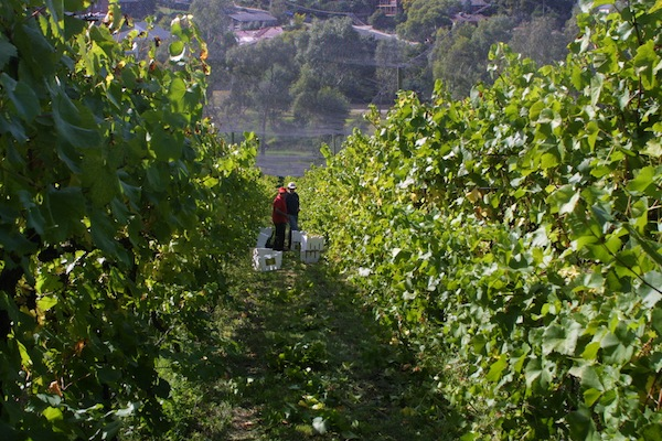 Rose Creek Wine Estate and Growing Honest Food the vineyard