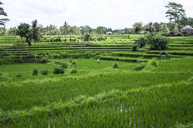 Ubud Bali The Campuhan rice terrace
