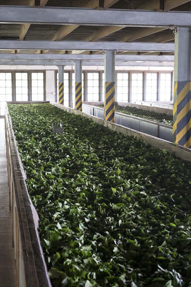 Sri Lanka Ceylon Tea Trails Old Tea Factory leaves