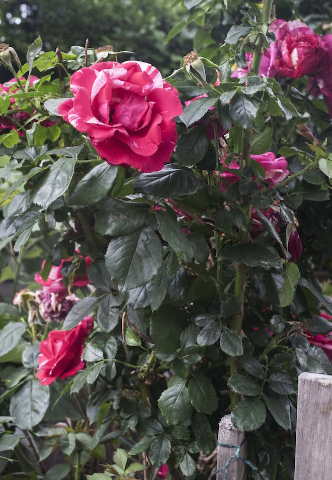 Fitzroy Community Garden beautiful roses up close two