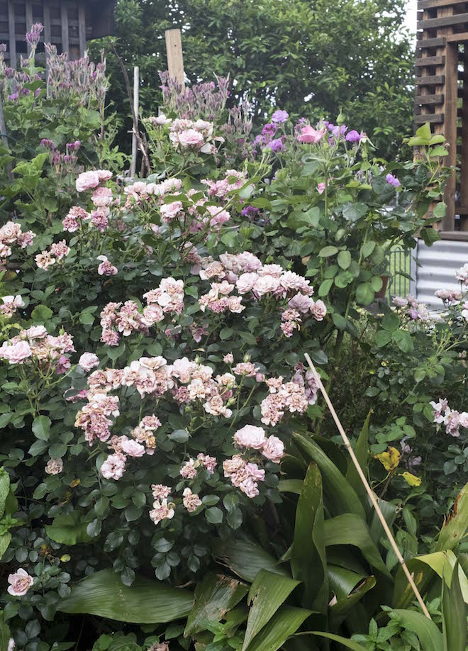 Fitzroy Community Garden light pink roses and shed