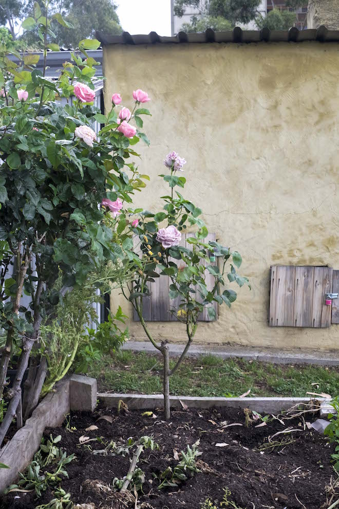 Fitzroy Community Garden light pink roses and yellow shed
